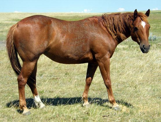 Quarter Horse Racing For Sale Texas Quarter Horse Racing